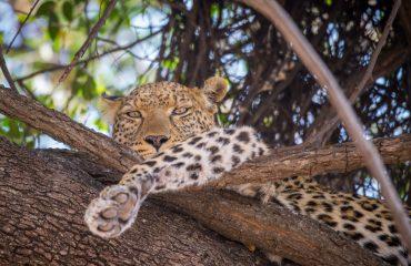 leopard-1022413