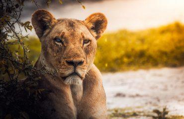 lion-2263345