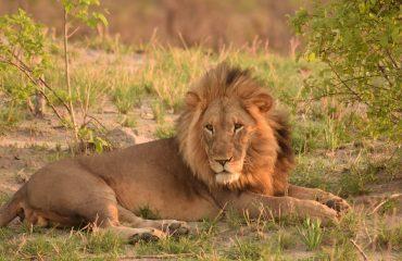 lion-2649551