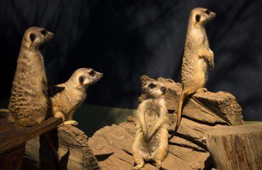 meerkat-2794957