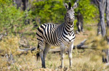 zebra-722151