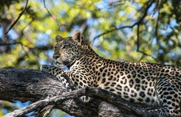 18Hyena Pan - Leopard