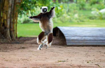 AB-Lots-Dancing-Sifaka-Lemurs-Baobabs-AW