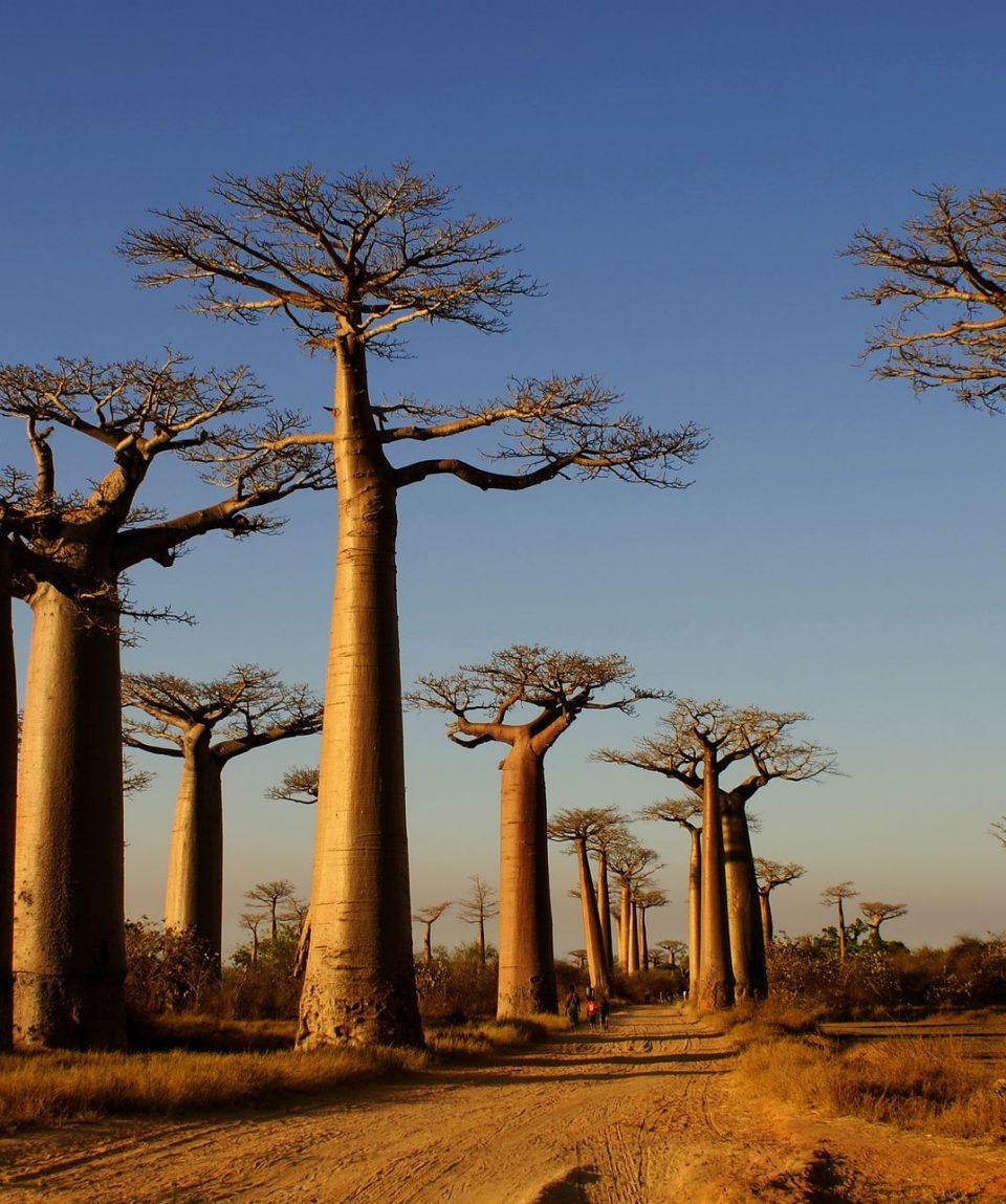 Allee-des-baobabs-Baobab-Alley-Morondava