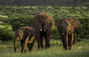Desert-elephants-of-Damaraland