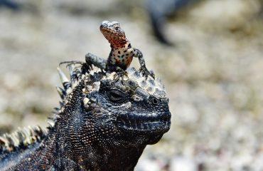 GPS91347-Marine-iguana