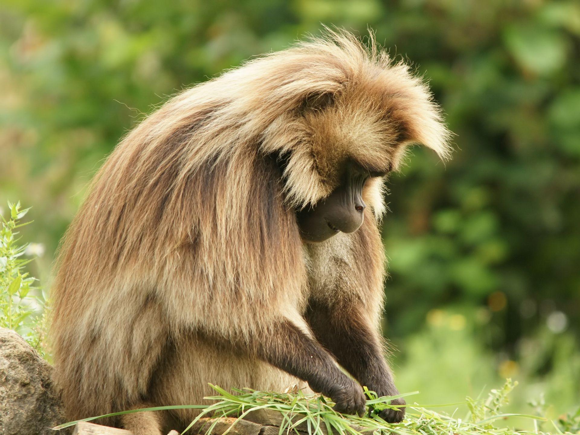 Małpa-gelada