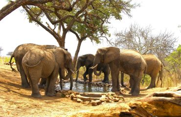 Tarangire-Treetops-elephants-drinking-at-water-hole