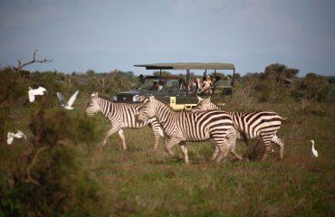 Tortilis-Camp-activities-game-drive-Burchells-zebra-2
