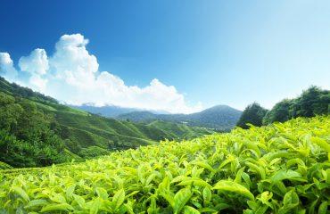 ZDJ-6-Plantacja-herbaty-Cameron-Highlands.