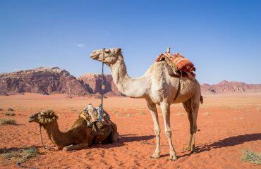 camel-1120371