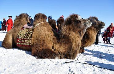 camel-1264561