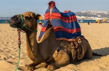 camel-2773110