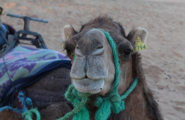 camel-3298155