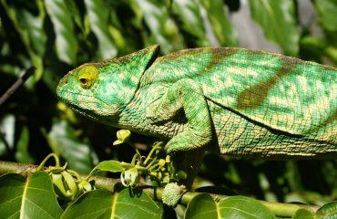 cameleon_-_chameleon