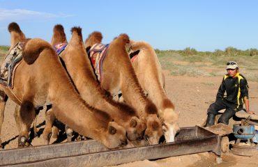 camels-692646