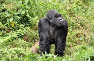 gorillas-474728