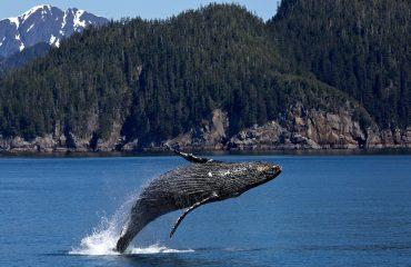 humpback-whale-1984341