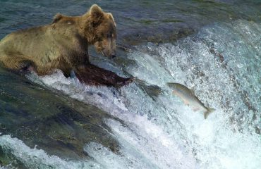 kodiak-brown-bear-2042153