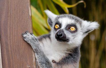 lemur-1045220