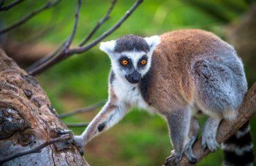 lemur-3133038