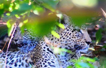 leopard-2647210