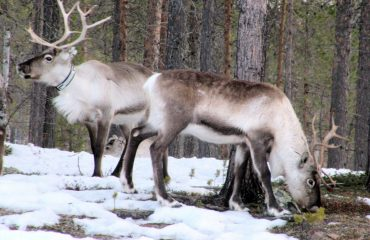 reindeer-697283
