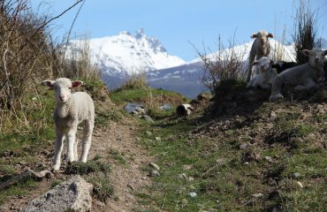 sheep-2223275