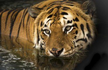 tiger-2791980