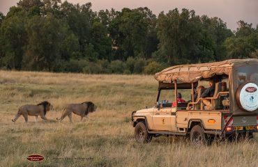 wyprawy-Kenia-a-la-Hemingway-Porini-Lion-Camp-safari-26