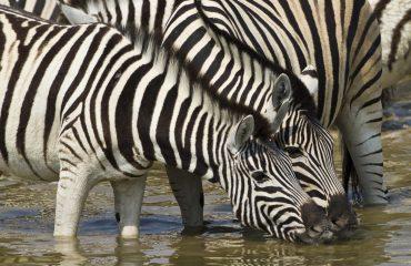 wyprawy-Namibia-z-Mozmbikiem-safari-zebry.