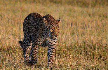 wyprawy-Splendor-Afryki-Belmond-Khwai-River-Lodge-safari