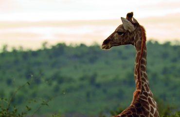 wyprawy-Splendor-Afryki-Belmond-Khwai-River-Lodge4