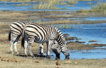 zebra-718278