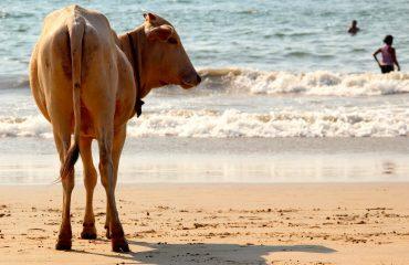 cow-1028432_1920