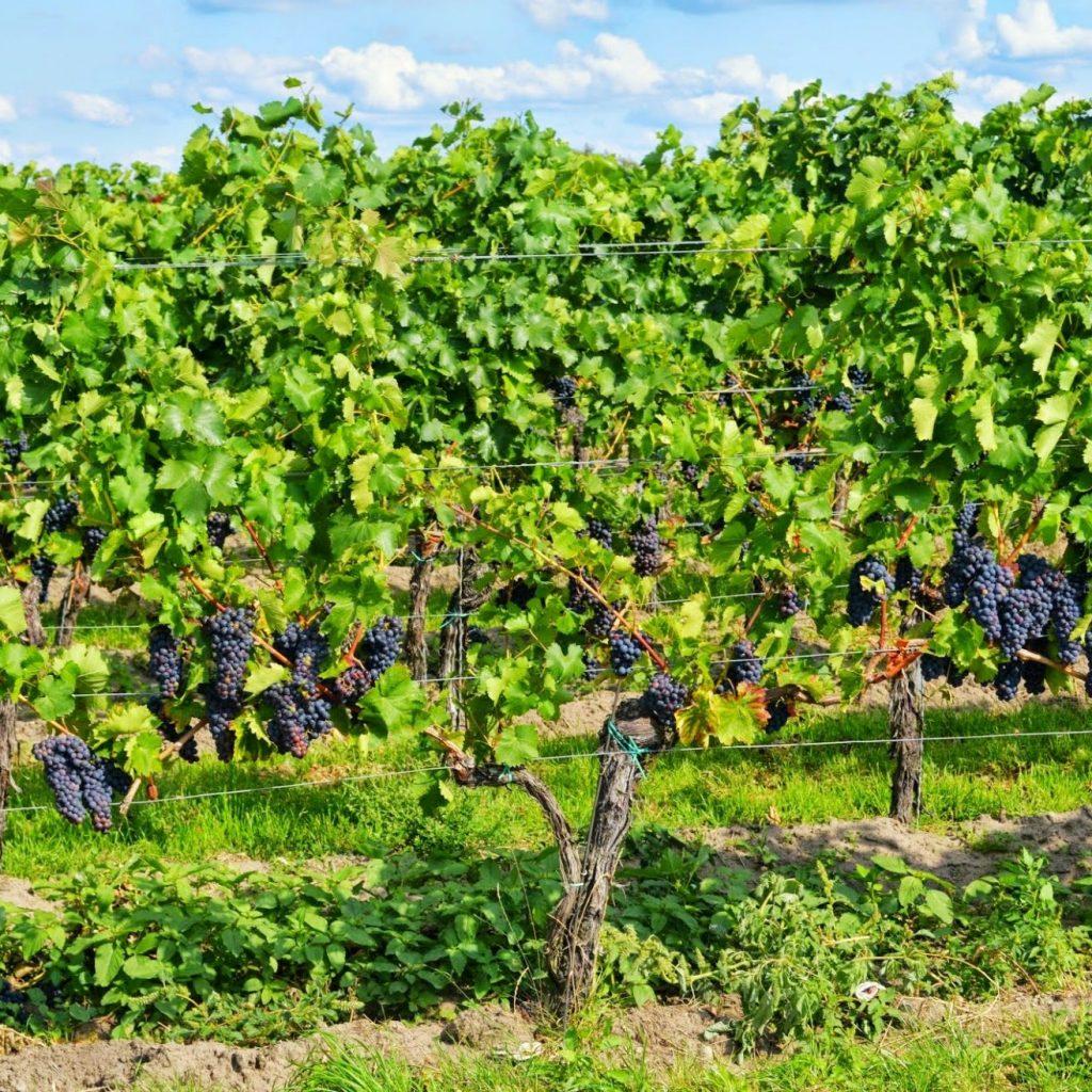 grapes-453107