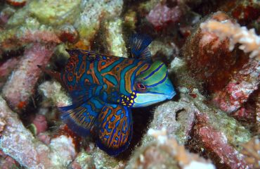 mandarinfish-2336895_1920