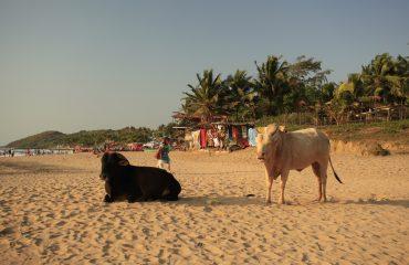 cows-1503465