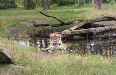 tiger-736981