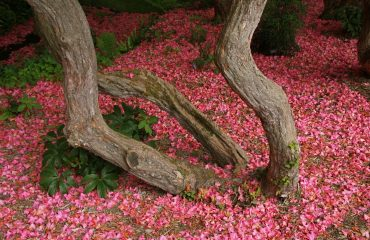 rhododendron-blossom-1031902
