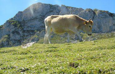 cow-1627876